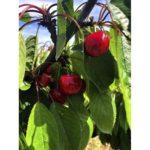 cerezas-mercat-finca-mas-roig